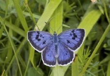 Dobbies Butterfly Partnership Large Blue_Credit Keith Warmington (1)